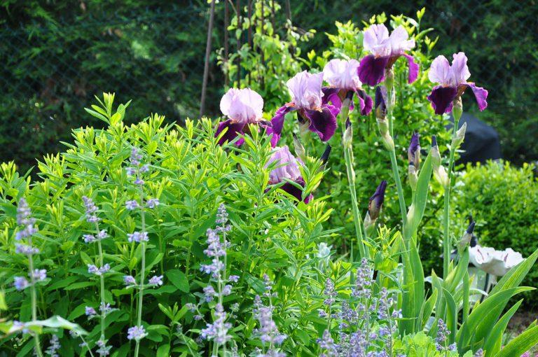 Jardin-Essonne-iris-Sophie-Durin